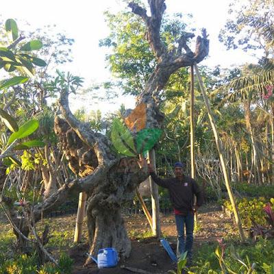 Jual Pohon Kamboja Fosil Raksasa Harga Murah
