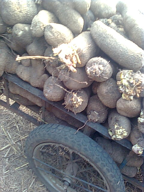 Making money in yam business