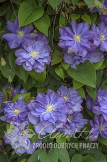 http://www.clematis.com.pl/ru/encyklopedia?plantid=804&view=plant