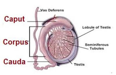 epididymin penis