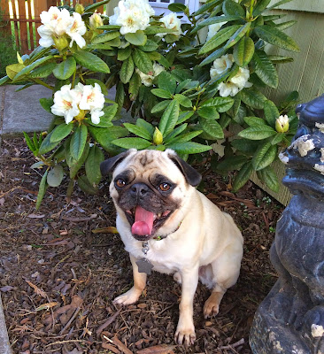 Liam the pug yawning by his flowers