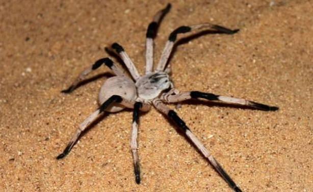 Dünyanın En Tehlikeli  ve Büyük 10 Zehirli Örümceği - Cerbalus Aravaensis