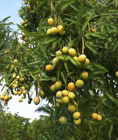 Manga Mango