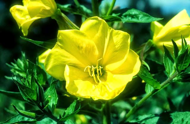Bunga Mekar Saat Adzan Bunga ini Ada di Ajerbaizan