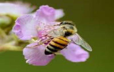 gambar lebah florea