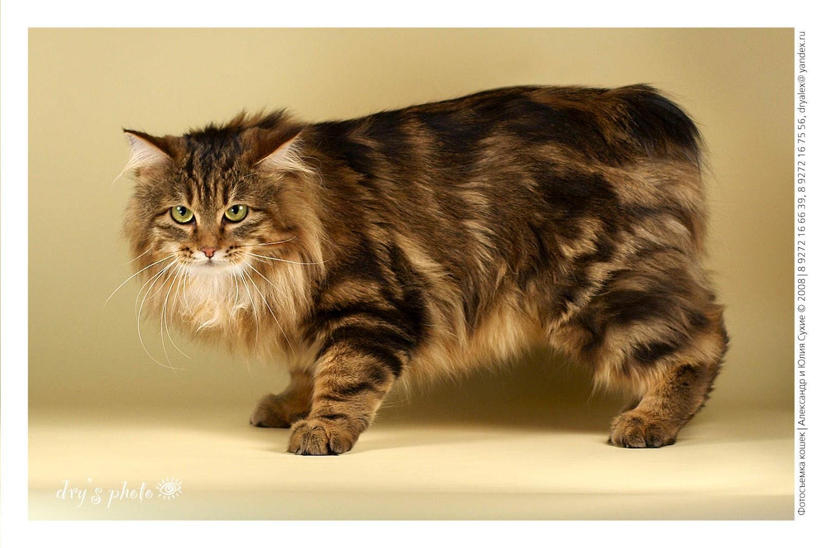 Makanan kucing american bobtail