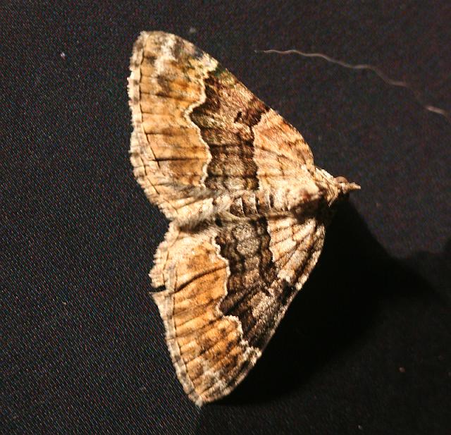 Vierbinden-Blattspanner, Xanthorhoe quadrifasciata