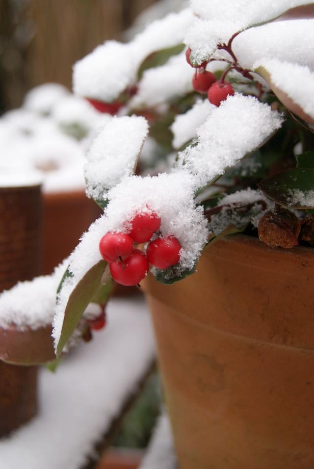 Gaultheria mit Schnee