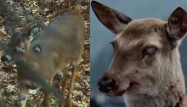 Aumenta la preocupación por la enfermedad del ciervo zombie.