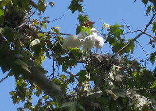 Egret chicks on the nest, Mountain View, California