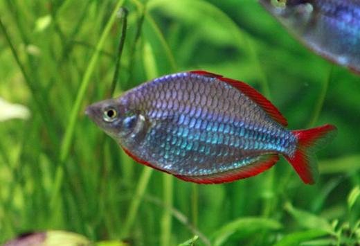 Jenis Ikan Rainbow