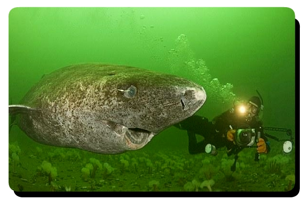 Big Greenland Shark
