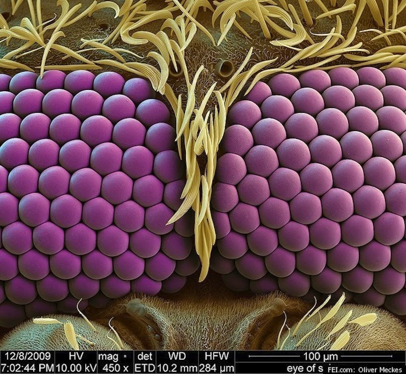16 Terryfying Images From The Microscope - Mosquito eye