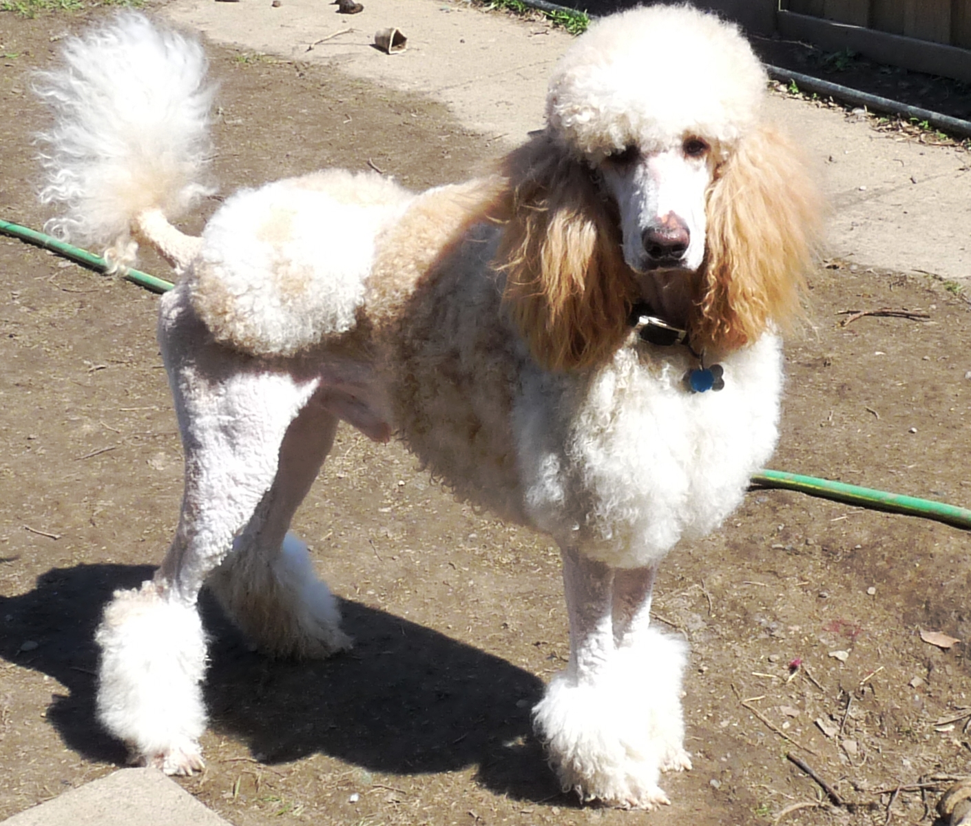 Huxtable The Poodle | Toy Poodle Blog | Parti Poodle ...