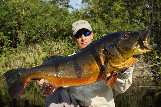 Amazon Peacock Bass Fishing Report