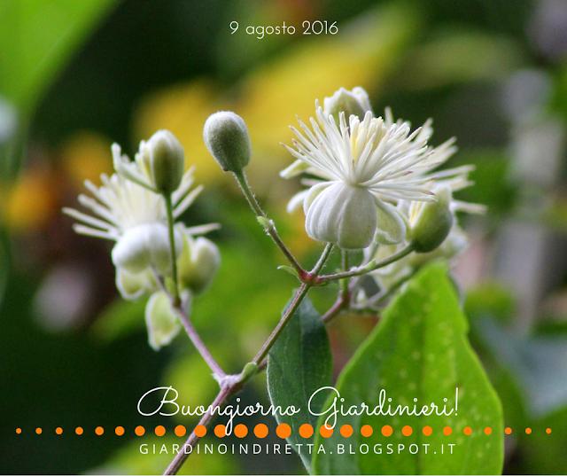 clematis vitalba - il giardino dalla A alla Z -  i fiori della settimana - un giardino in diretta