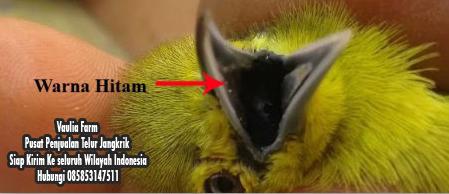 Contoh Gambar Lidah dan Tenggorokan Burung Sirpu Jantan