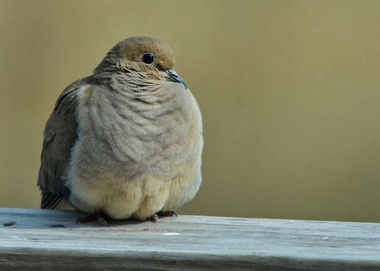 A sweet male mourning dove sang his love song on our deck. Spring is finally here!