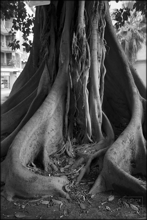 fotografia,ficus,naturaleza,raices,valencia,limites