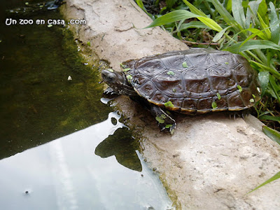 Mauremys rivulata, la tortuga de los Balcanes