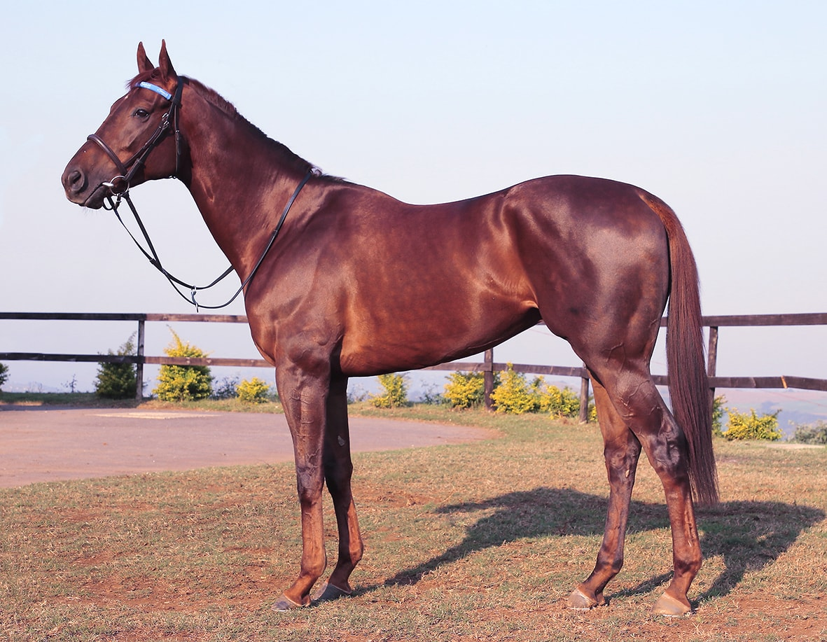 Elusive Silva - Breeder: Nutfield Stud - Sire: Silvano (GER) - Dam: Esprit by Fort Wood (USA)