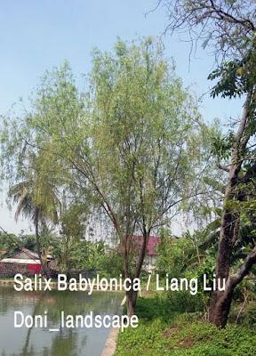 Jual Pohon Liang Liu | Salix Babylonica | Janda Merana