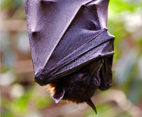 Morcego dormindo
