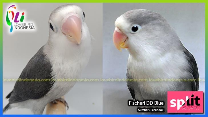 88 Foto Gambar Burung Lovebird Green Olive HD Terbaru