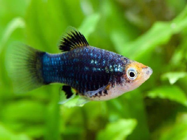 Gambar jenis ikan platy-Black Platy