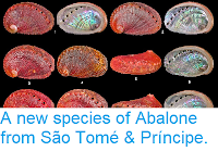 https://sciencythoughts.blogspot.com/2014/07/a-new-species-of-abalone-from-sao-tome.html