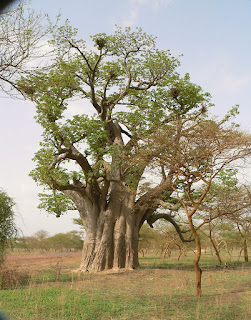 Baobab tree, south of Kaolack, Senegal
