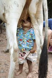 Milk Cow Turns Not Good for Health