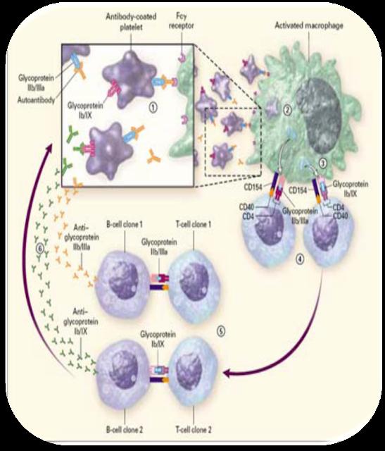 Patogenesis dari Idiopathic Thrombocytopenic Purpura