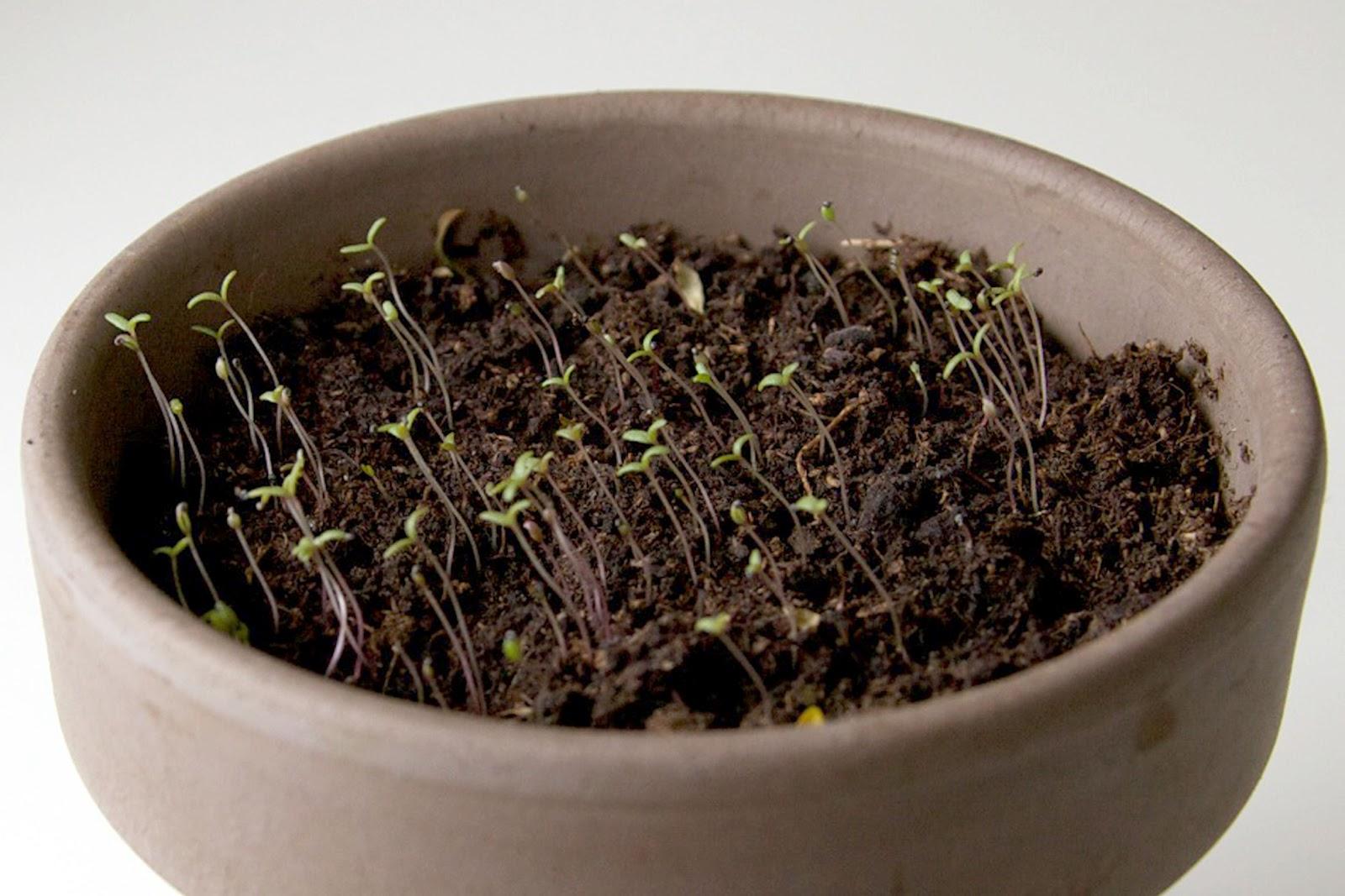 Rose moss seed - Moss Rose - Park Seed Company  How to Grow