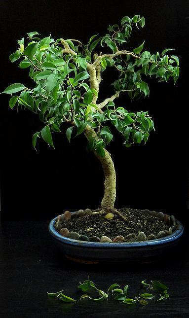 fikus bonsai przycinanie
