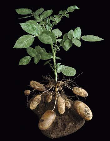 Nama Latin Kentang : latin, kentang, Kentang, (Solanum, Tuberosum, Artikel, Sudarminto, Setyo, Yuwono