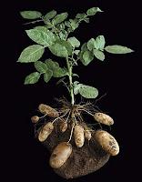 Hasil gambar untuk batang kentang