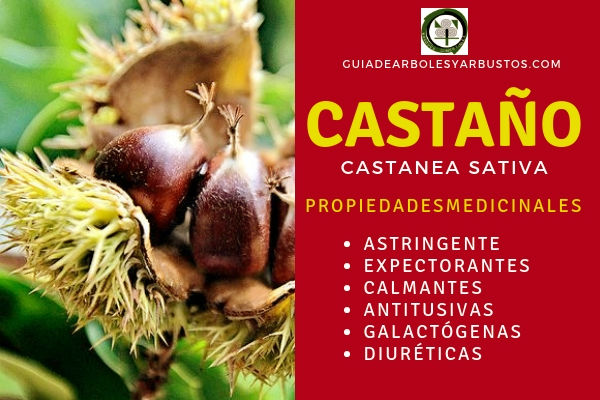 El castaño, Castanea sativa, tiene propiedades astringentes, expectorantes, calmantes entre otras