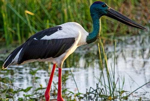 Indian birds - Black-necked stork - Ephippiorhynchus asiaticus