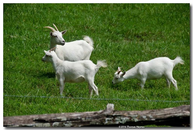 Small white nanny goat with two kids