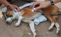 penyakit Canine parvovirus pada anjing