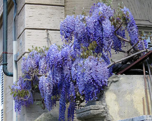 Glicine in fiore, viale Marconi, Livorno