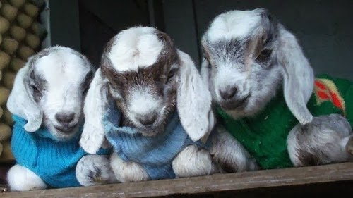 Very Cute Baby Wallpapers Photos Cute Funny Animalz Funny Cute And Baby Goats Pictures And