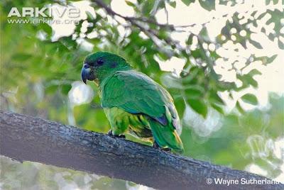 Amazona jamaiquina pico oscuro: Amazona agilis