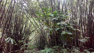 Rumpun Bambu Tundo Lawe