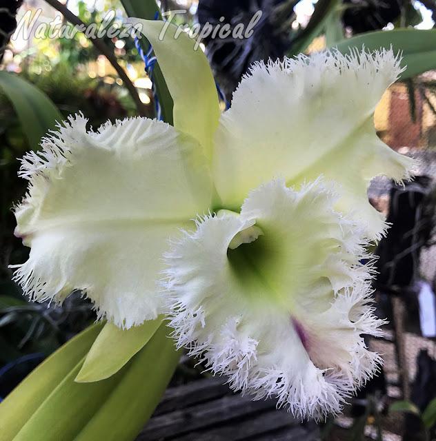 Floración del majestuoso híbrido Rhyncholaeliocattleya Golf Green `Hair Pig´