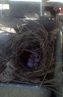 baby bird eggs, Tufted Titmouse, titmouse, farm life, white egg brown speckle