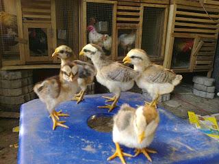 Suara ayam ketawa dangdut,Cara Membuat Ramuan Untuk Ayam Ketawa Atau Manu Gaga'