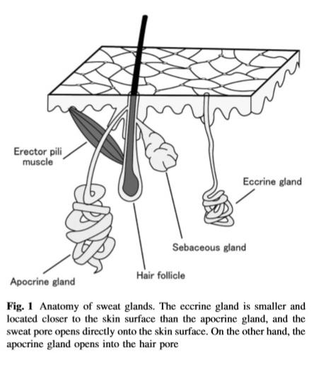 Thermal Adaptation: Thermal Adaptation  Sweating