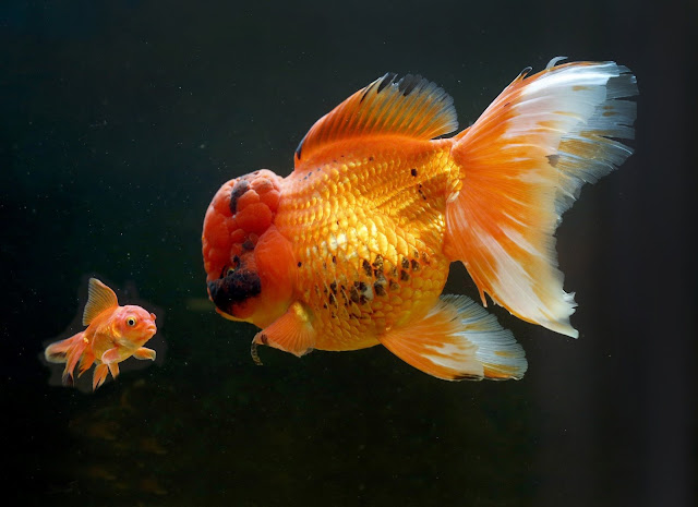Man revealed his goldfish that might be Britain's biggest